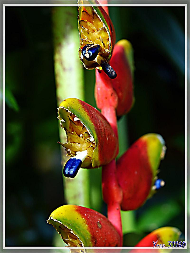 Heliconia rostré ou pince de crabe (Heliconia rostrata) - Nosy Be - Madagascar