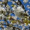 cerisier mai 2016