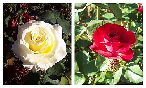 roses-13-mai-2011.jpg