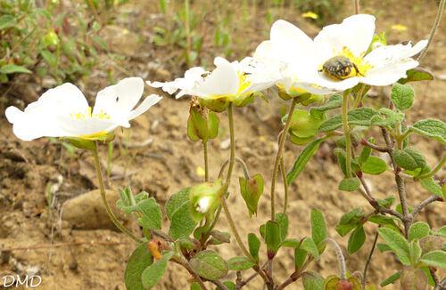 Cistus salviifolius   -   ciste à feuilles de sauge