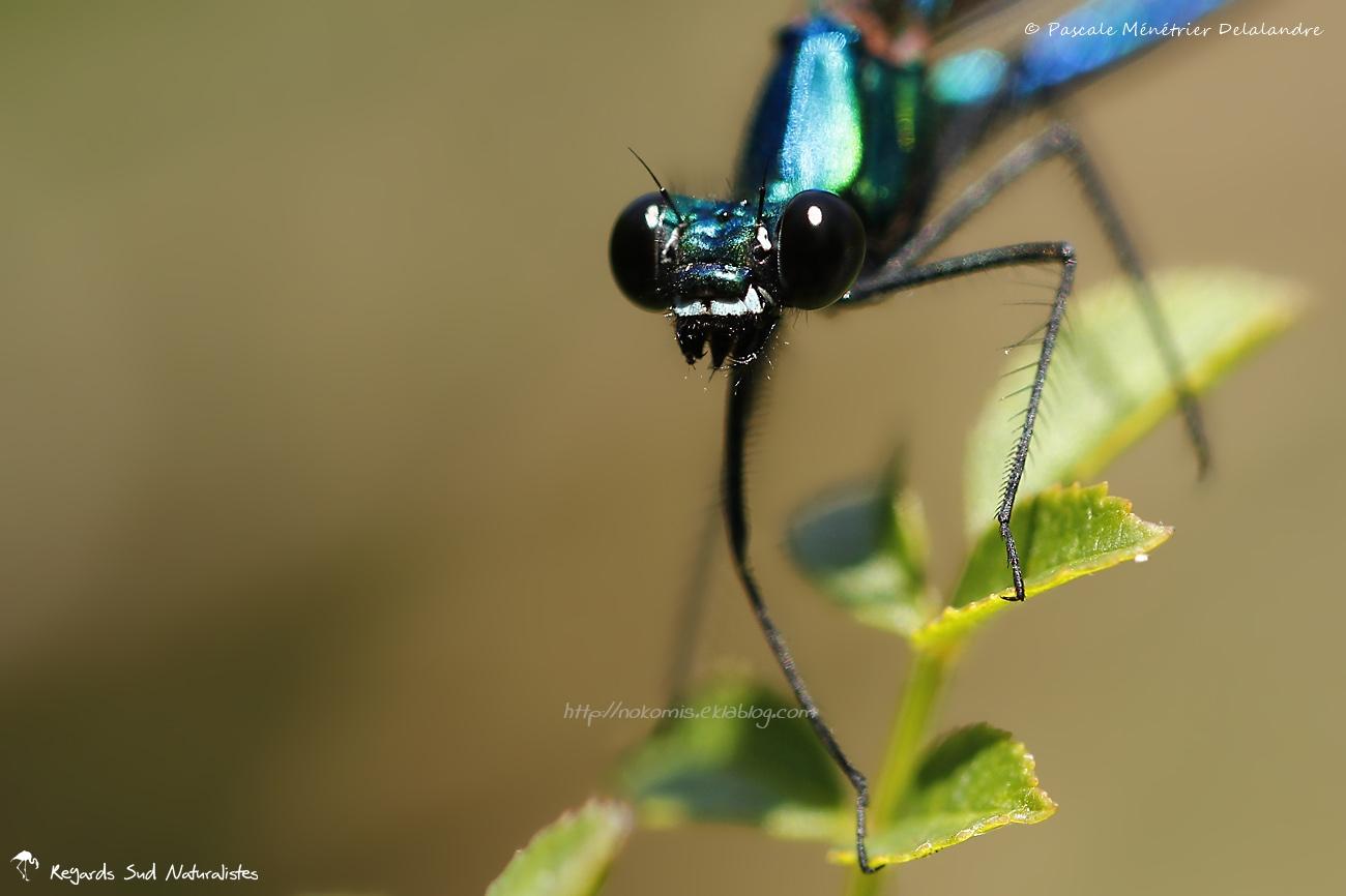 Caloptéryx vierge ♂ - Calopteryx virgo