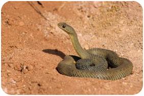 Morsure de serpent : Que faire ?