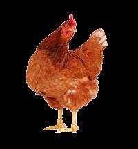 poule_rousse.jpg