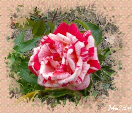 Les fleurs du Jardin (suite) rose panachée
