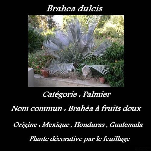 Brahea dulcis