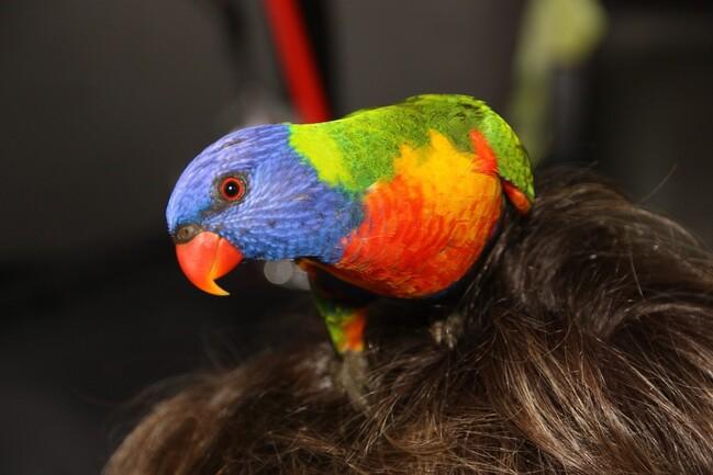 perroquets-vert-Clairwiew-1001--38-.jpg
