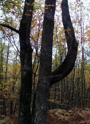 Un Pi inversé en forme de tronc d'arbre