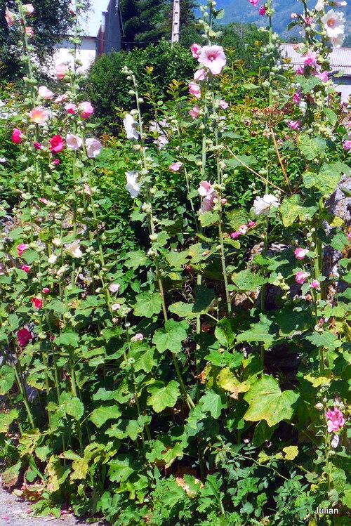 Des fleurs : la rose trémière !