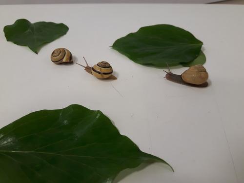 les escargots de Kéhyl