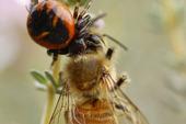 Araignée Napoléon et Abeille domestique