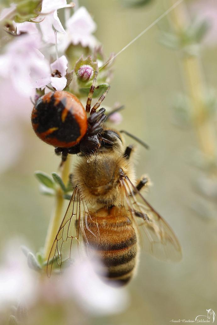La Thomise et l'abeille....