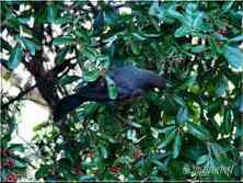 Merles sur une branche de Piracantha