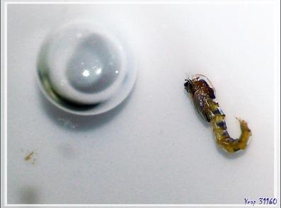 Naissance d'un minuscule diptère sous mes yeux - Lartigau - Milhas - 31