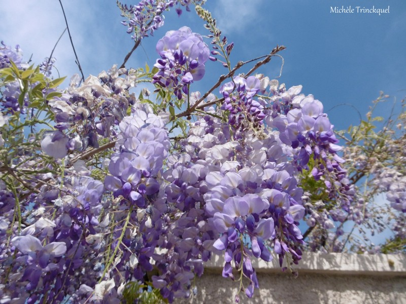 Une balade fleurie dans mon village, le 15 avril (suite)...