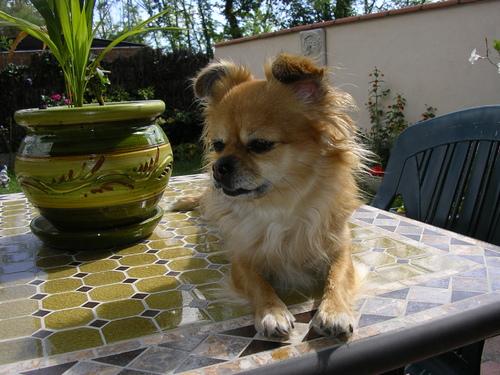 ma petite chihuahua Gipsy 5 ans