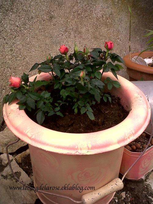 Nouveau pot à roses/New rose container