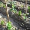 Le basilic protège les tomates