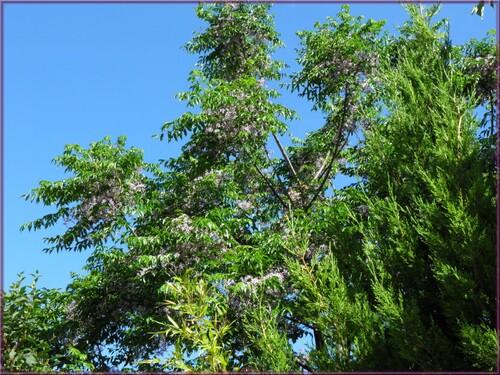 Lilas de Perse(Mélia azedarach)