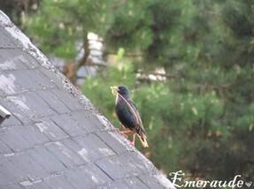 Photo Oiseaux, étourneau sansonnet - 22.05.11 - 05