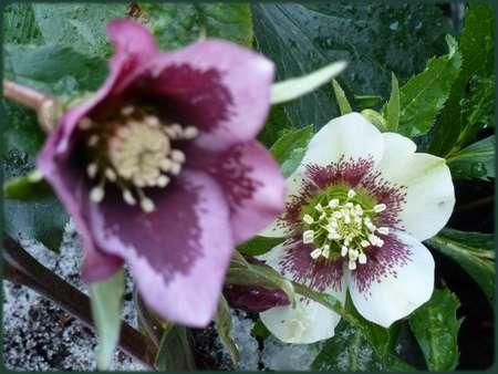 """Quelques héllébores du """"Chant des Roses"""""""