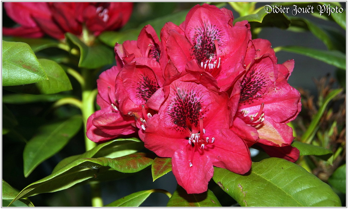 Rhododendron / Rhododendron