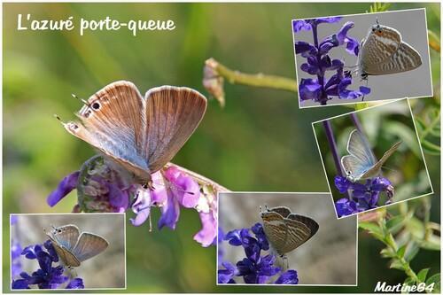 Azuré porte-queue - Lampides boeticus