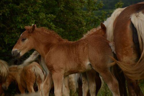 Les chevaux Comtois