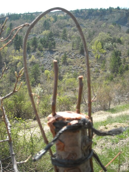 -Greffage sur poiriers sauvages printemps 2013