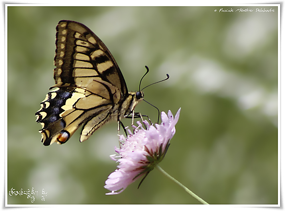 Machaon ou Grand porte-queue (Papilio machaon)