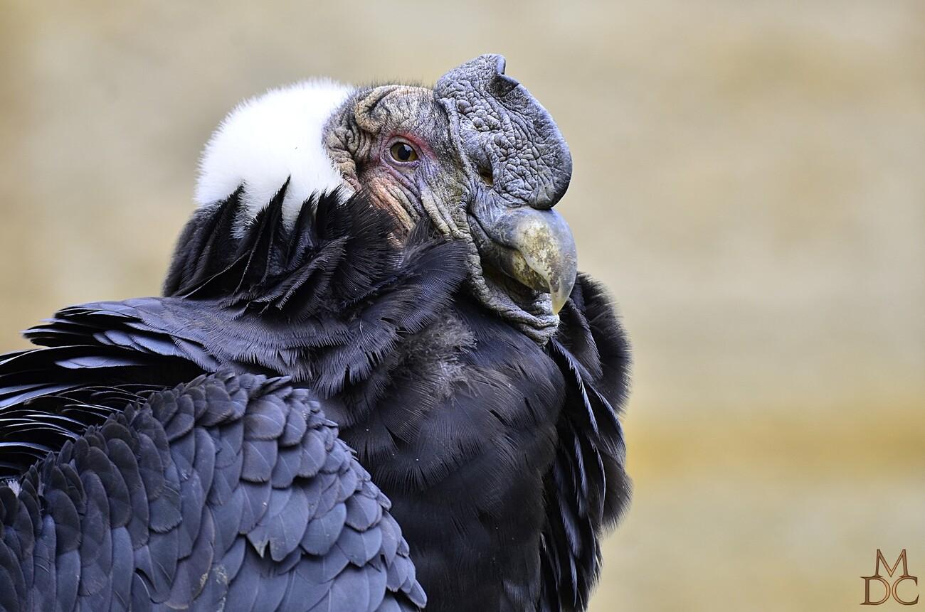 Condor des Andes (mâle & femelle)