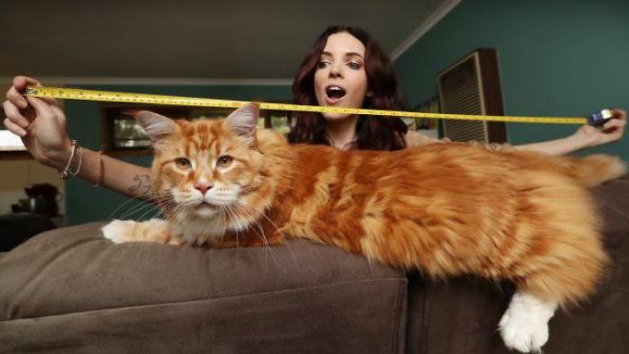 C'est le plus long et le plus beau chat du monde!