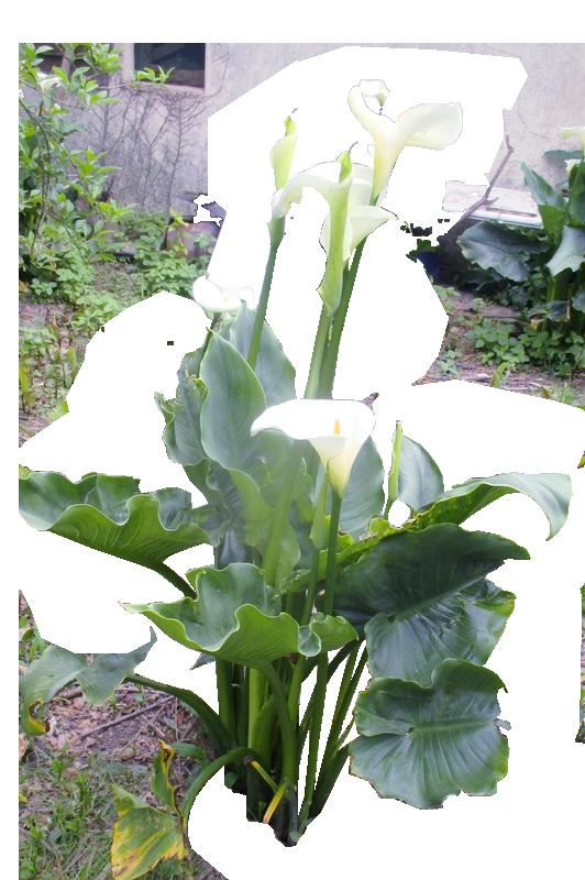 Arums