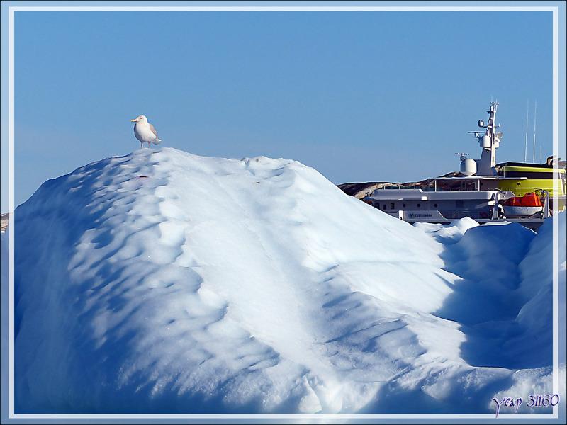 Le goéland bourgmestre, Glaucous Gull (Larus hyperboreus) et le yacht Yersin - Ilulissat - Groenland