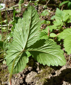 Potentilla indica = Duchesnea indica - fraisier de Duchesne