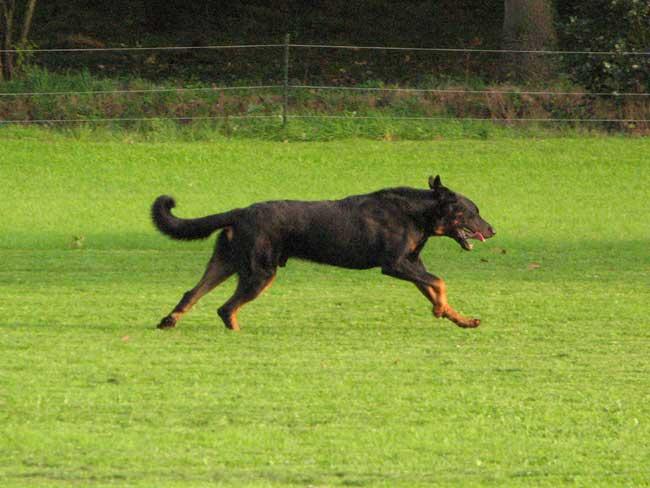 Races de chiens:  Beauceron