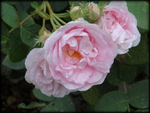 Photographie de roses