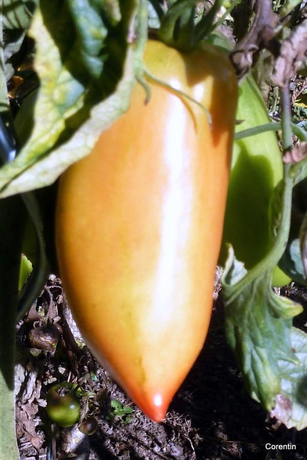 I01--Tomate.JPG