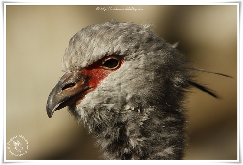 Kamichi à collier - Chauna torquata - Southern Screamer (Ansériformes)