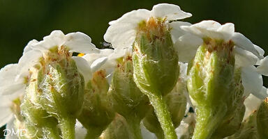 Achillea millefolium - achillée millefeuilles