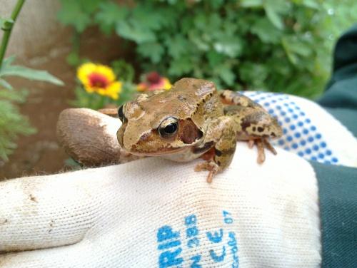 La grenouille du jardin