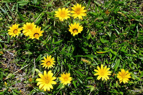 Fleurs jaunes : le gazania !