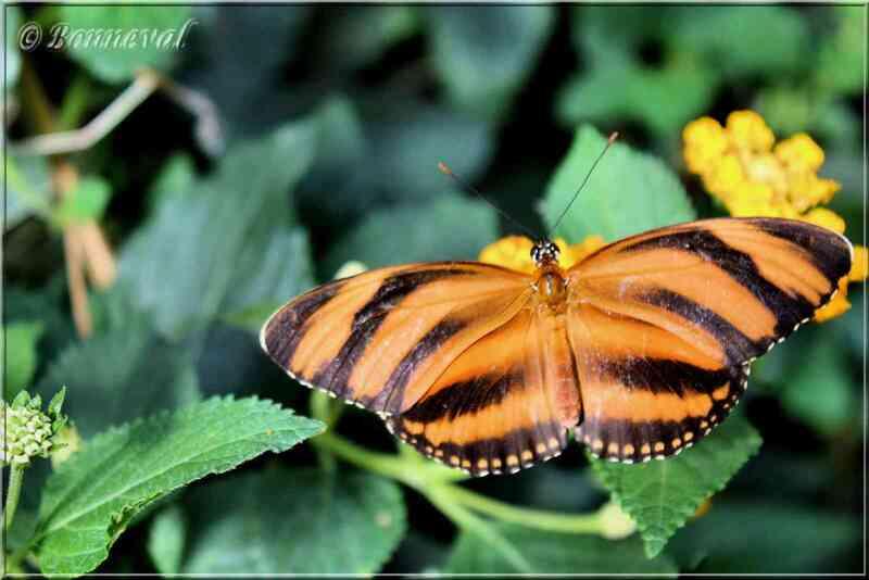Papillons tropicaux Dryadula phaetusa Nymphalidae
