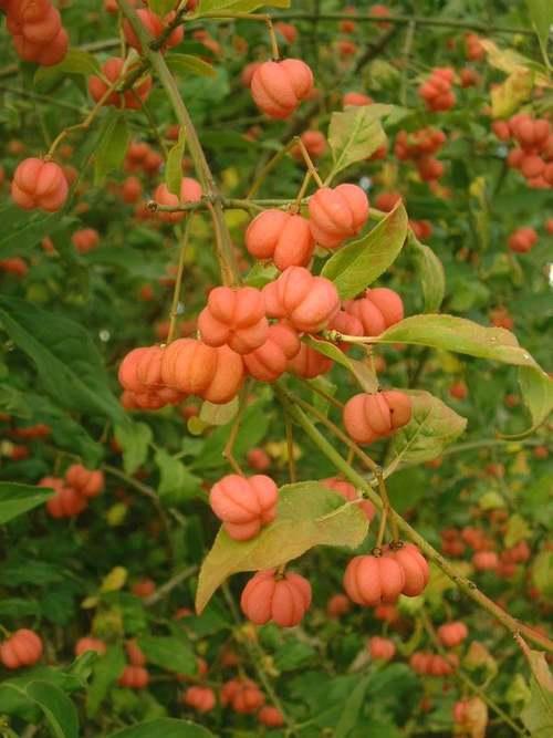 Vertus médicinales des plantes sauvages : Fusain d'Europe