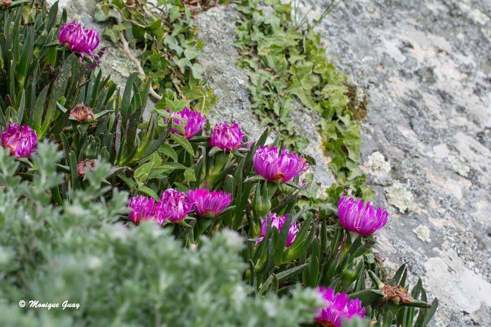 Fleurs sur l'île de Bréhat