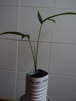 Prestoa acuminata var. montana