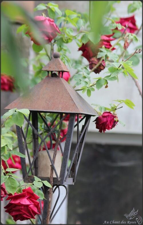 Vagabondage de roses en roses(3)