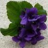 Violette2sescas
