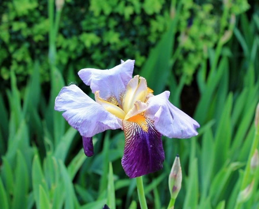 Au jardin les Iris