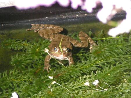 La grenouille Ardèchoise