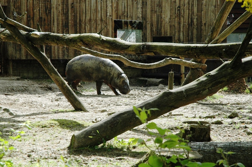 Pygmé